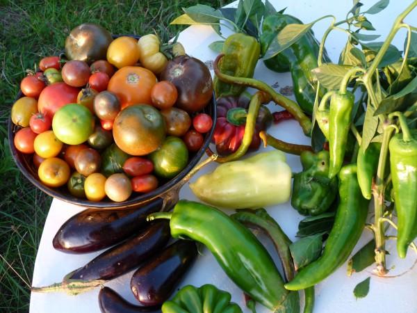 Légumes du jardin bio cultivés sur place